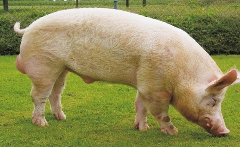 Фото: белая свинья