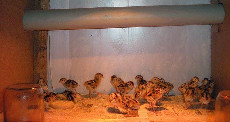 Фото: помещение для птенцов