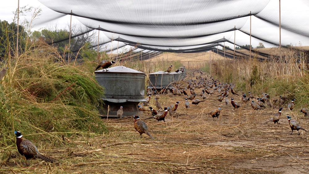 Фото: вольер для фазанов