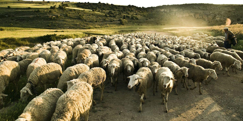 Фото: пастбища для овец