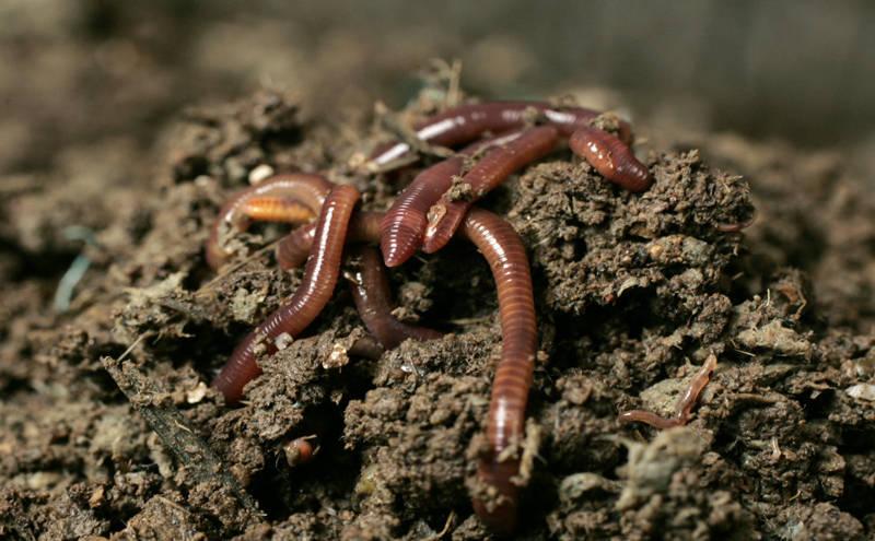 Обычные дождевые черви